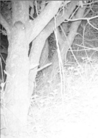 Rat tree 1