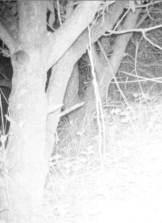 Rat tree 2